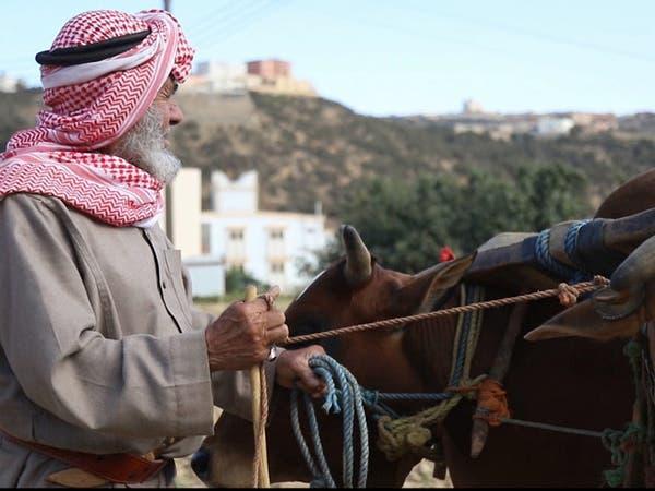 """مزارع سعودي يرفض التقنية ويحرث مزرعته بـ """"الثيران"""""""