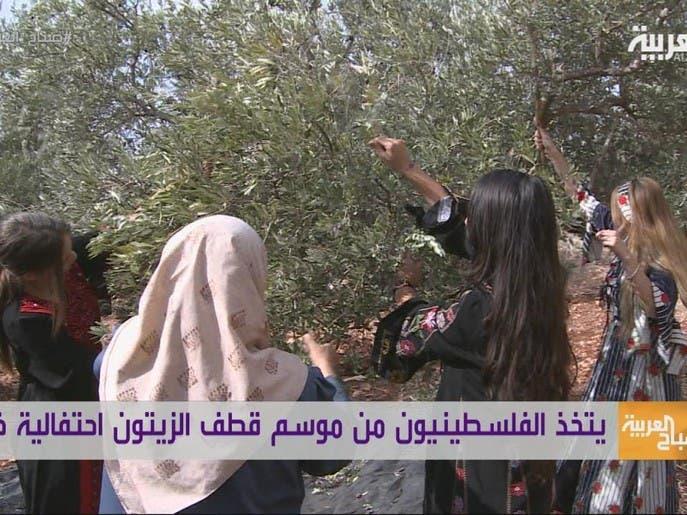 العربية في الجليل | موسم قطاف الزيتون