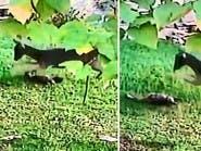 انظر إلى غزال اغتاظ من قطة فطاردها وقتلها ركلا ودهسا