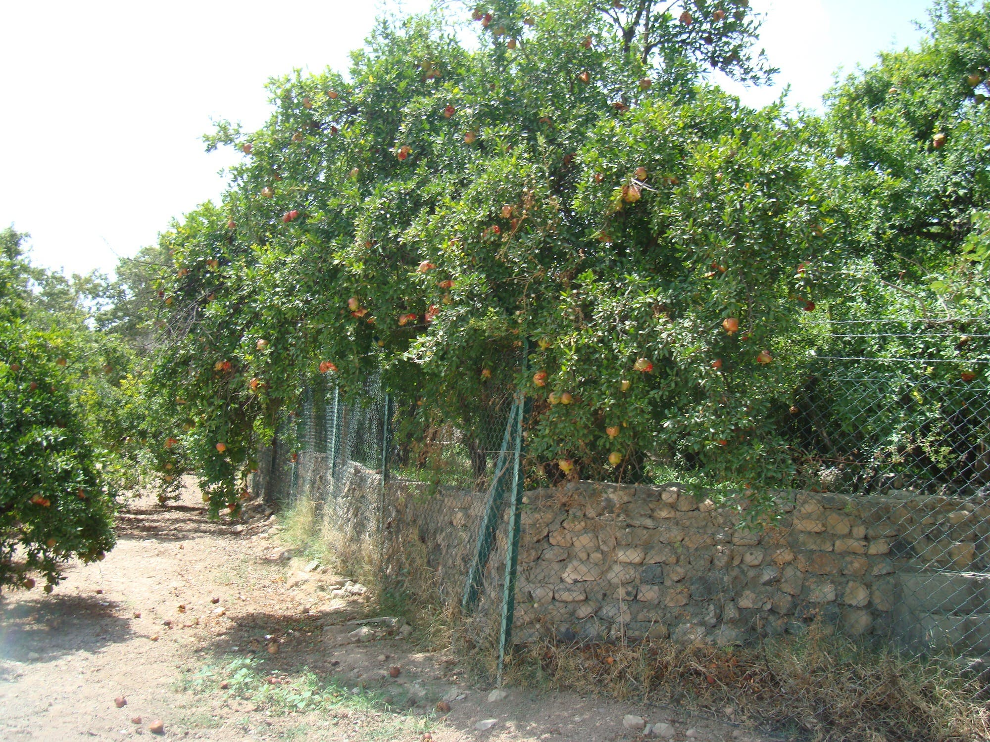 Among the most popular fruit in the valley is pomegranate. (Supplied)