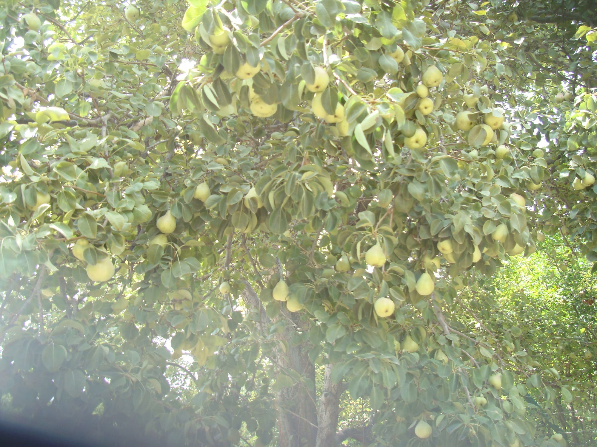 Pears growing in the valleys of Jabal al-Akhdar. (Supplied)