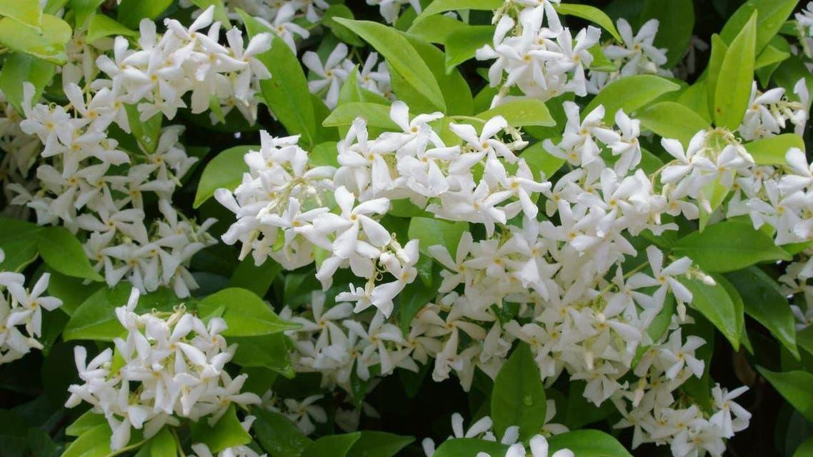 چمبیلی کے پھول