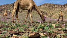 IN PICTURES: Flowers bloom in this Saudi desert following rain