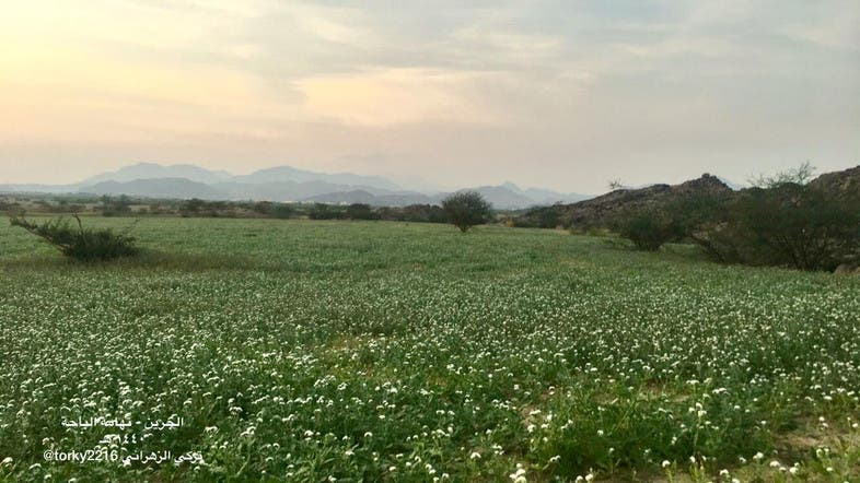 In Pictures White Flowers Cover This Saudi Desert After Rains Al