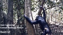 WATCH: Chimpanzee uses brush-tipped stick to drink water from tree holes