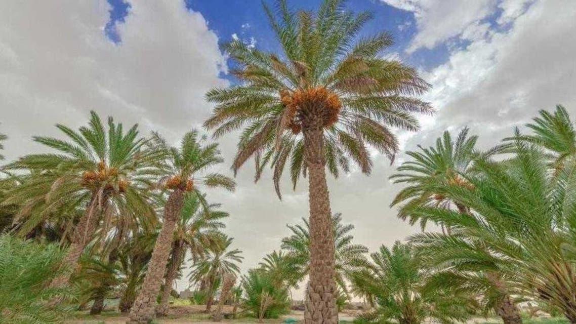Egypt: largest dates garden in world