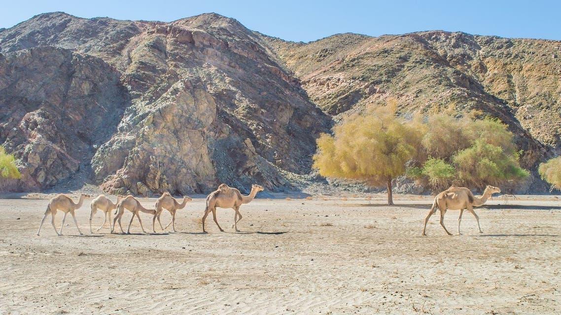 The_camel_family