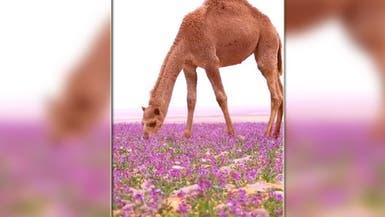 بعد انتشار فيديو لصحراء بنفسجية بالسعودية.. مصورها يعلق