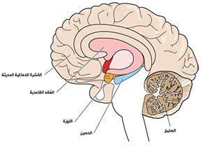 في الرسم أعلاه، تدخل المعلومات أولاً إلى الذاكرة قصيرة المدى، وقبل دخولها إلى الذاكرة طويلة المدى يتم توطيدها وإعادة تمثيلها