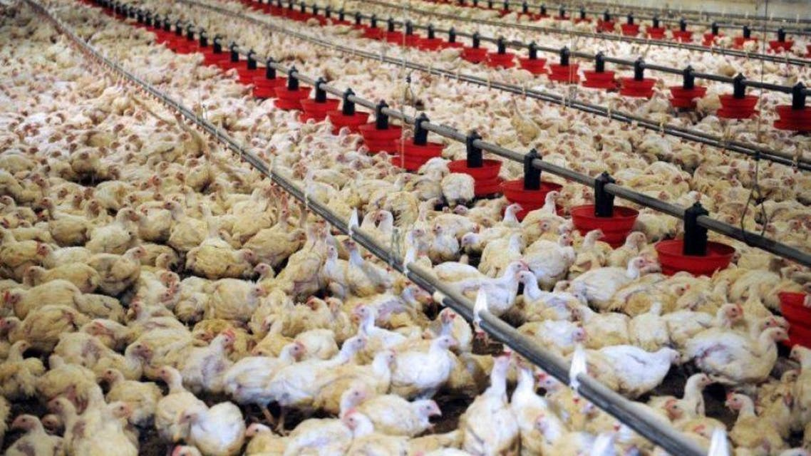 وزارت زراعت افغانستان واردات مرغ و محصولات آن را از ایران به این کشور ممنوع اعلام کرد