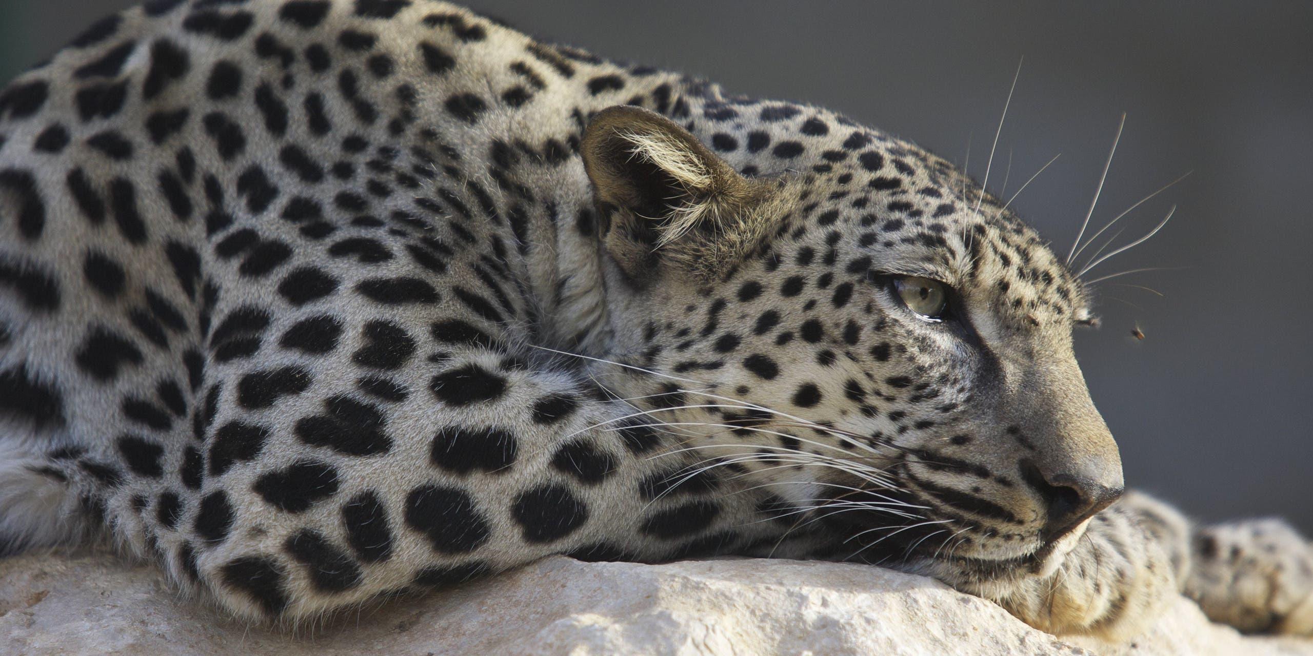 Arabian leopard (Shutterstock)