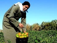 مدينة سعودية يزرع أهلها طماطم بمذاق الفاكهة..تعرف عليها