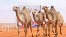 Saudi Princess wins first place at the King Abdul Aziz annual camel race
