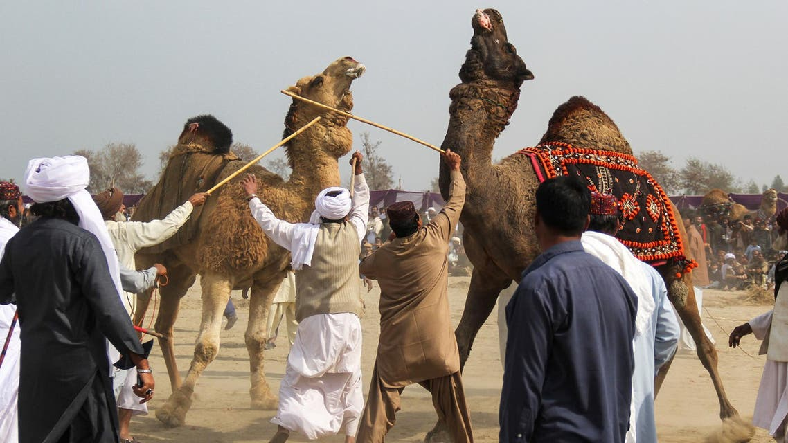 Owners separate their camels with sticks during the traditional camel fight in Layyah District on February 10, 2019. (AFP)