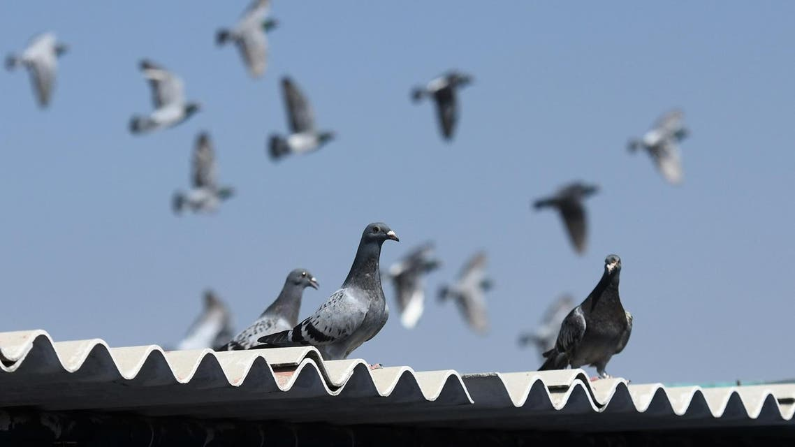 Racing pigeons in India. (File photo: AFP)