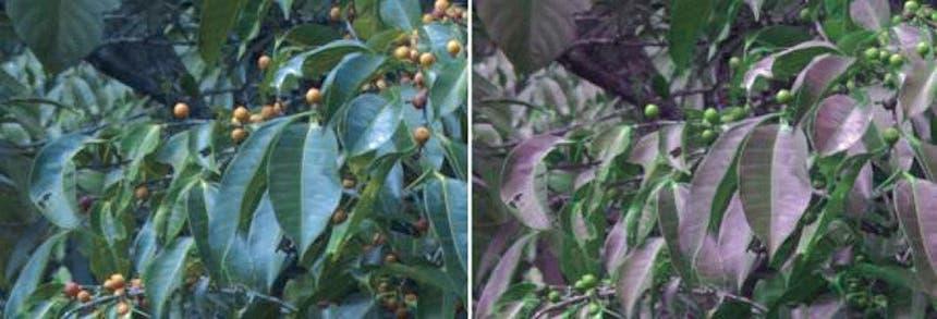 الصورة على اليمين كما تراها الطيور، بينما الصورة على اليسار كما يراها البشر