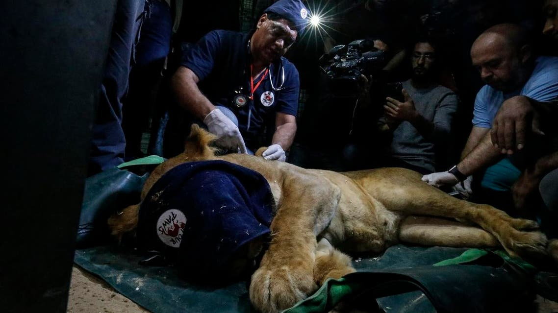 "Amir Khalil, a veterinarian of the international animal welfare charity ""Four Paws"", sedates a lion at a zoo in Rafah, in the southern Gaza Strip, on April 6, 2019. (AFP)"