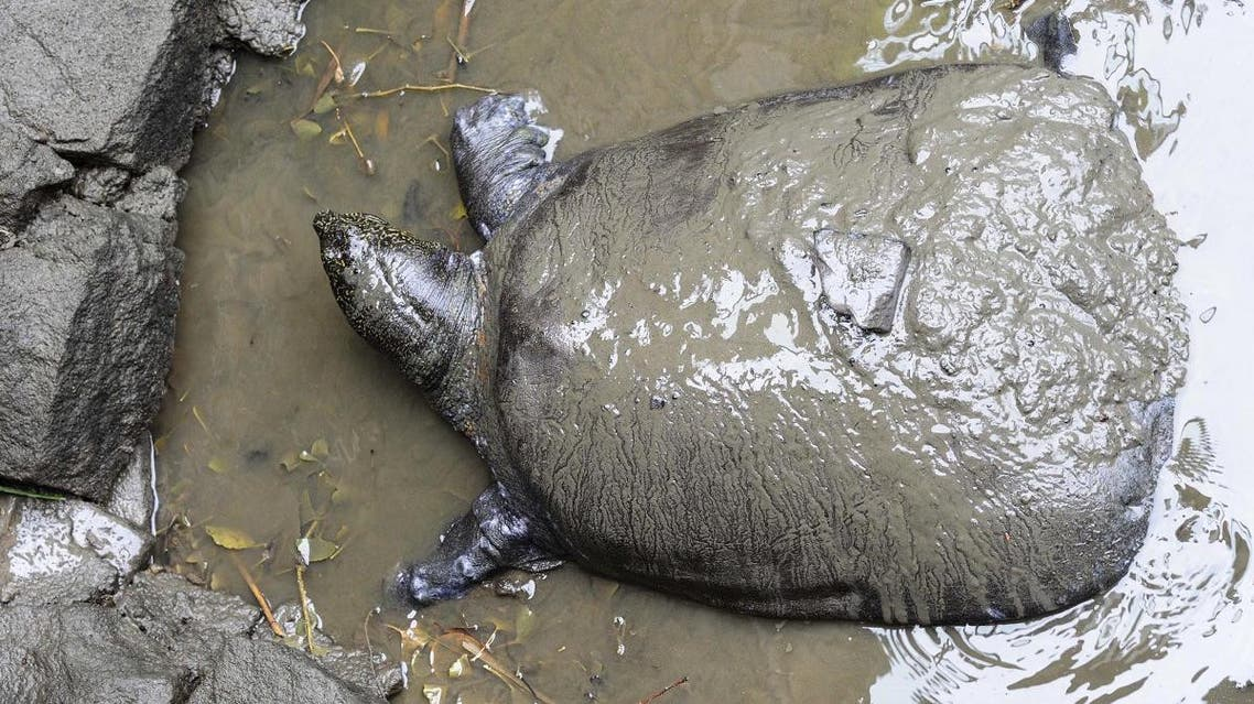 This photo taken on May 6, 2015 shows a female Yangtze giant softshell turtle at Suzhou Zoo in Suzhou in China's eastern Jiangsu province. (AFP)