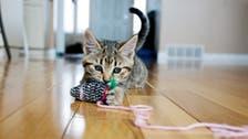 خروج القطة من المنزل خطر عليها!