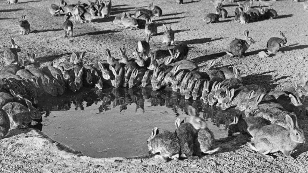 صورة لعدد من الأرنب بأستراليا خلال القرن الماضي