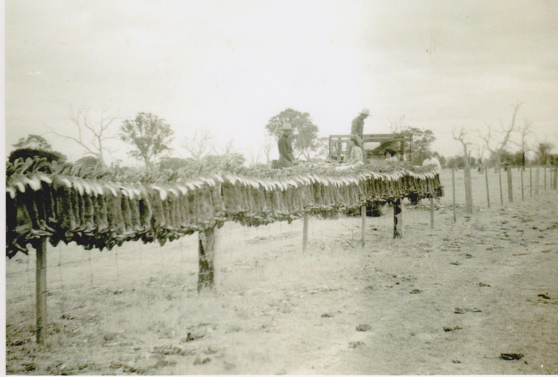 صورة لأعداد هائلة من الأرانب التي تم اصطيادها بأستراليا خلال يوم واحد سنة 1951