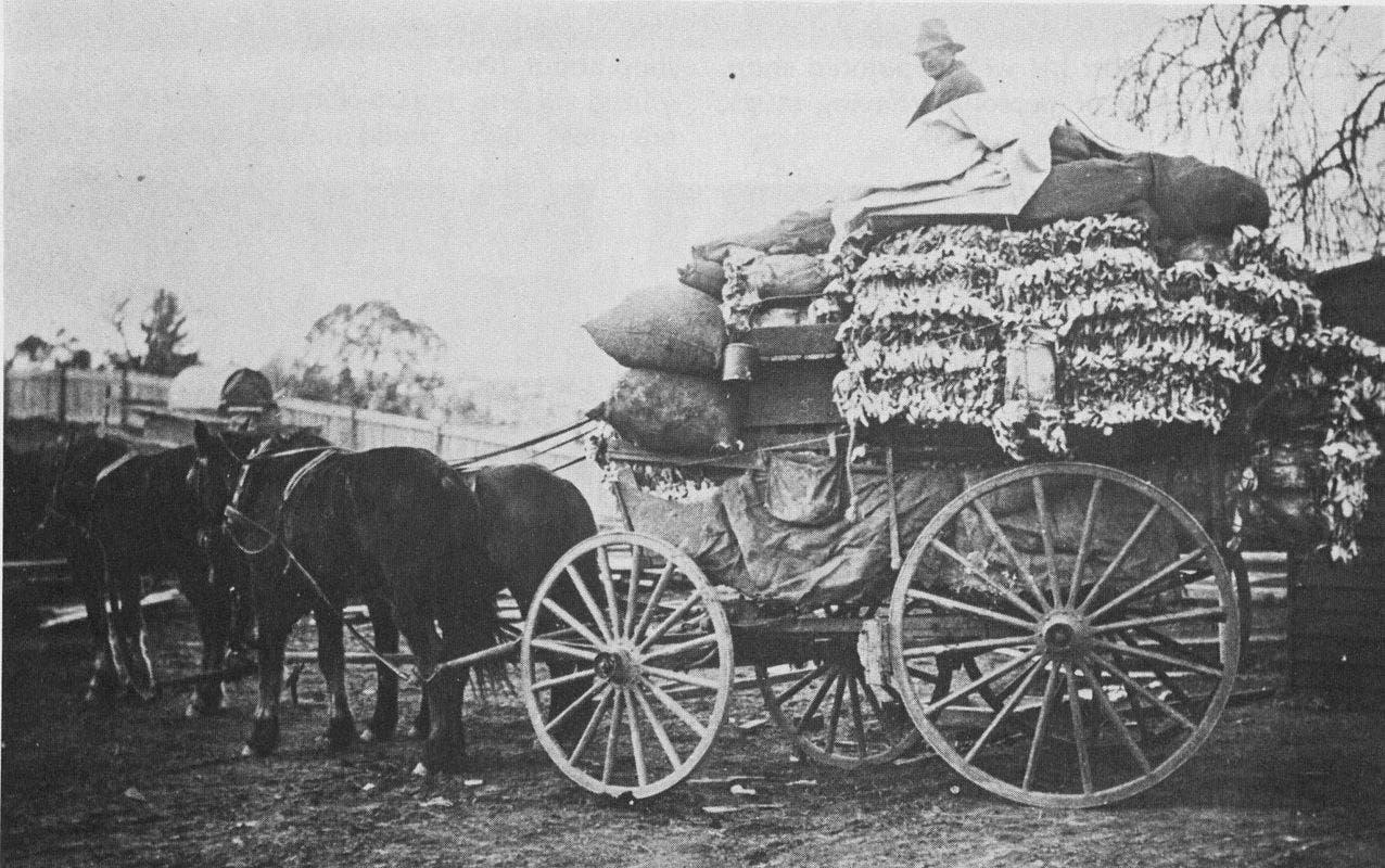 صورة التقطت مطلع القرن الماضي تجسد عملية نقل أعداد كبيرة من جلود الأرانب التي تم اصطيادها بأستراليا