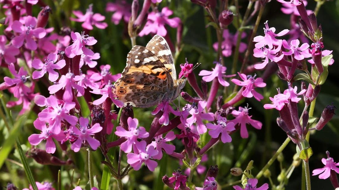 A painted lady butterfly sits on a flower in a field at the village of Mrouj, Lebanon. (Reuters)