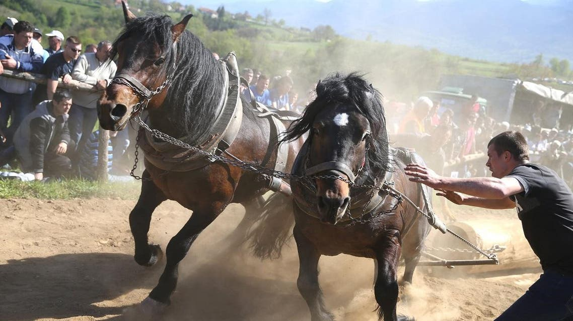 "A competitor pushes his horses during ""Straparijada"", an event in which horses compete in strength hauling heavy logs, in Izacic, near Bihac, Bosnia and Herzegovina, April 20, 2019. (Reuters)"