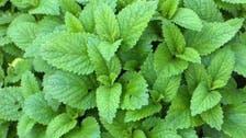 لیمن بام : جادوئی فوائد کا حامل خوشبودار پودا !