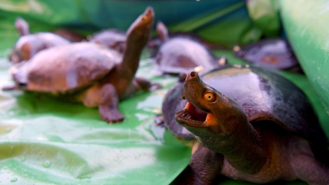 Royal turtles (southern river terrapins) are seen during a ceremony to release them into a river in Boeung Trach village afp