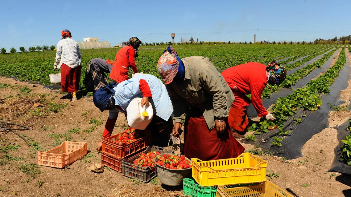 Women pick up strawberries, on April 8, 2011 in Menzel Bourguiba, some 60 kilometers north of Tunis (AFP)