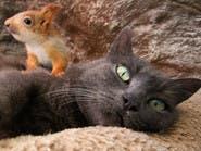 """فيديو.. قطة """"حنونة"""" تتبنى سناجب يتامى وتربيهم مع صغارها"""