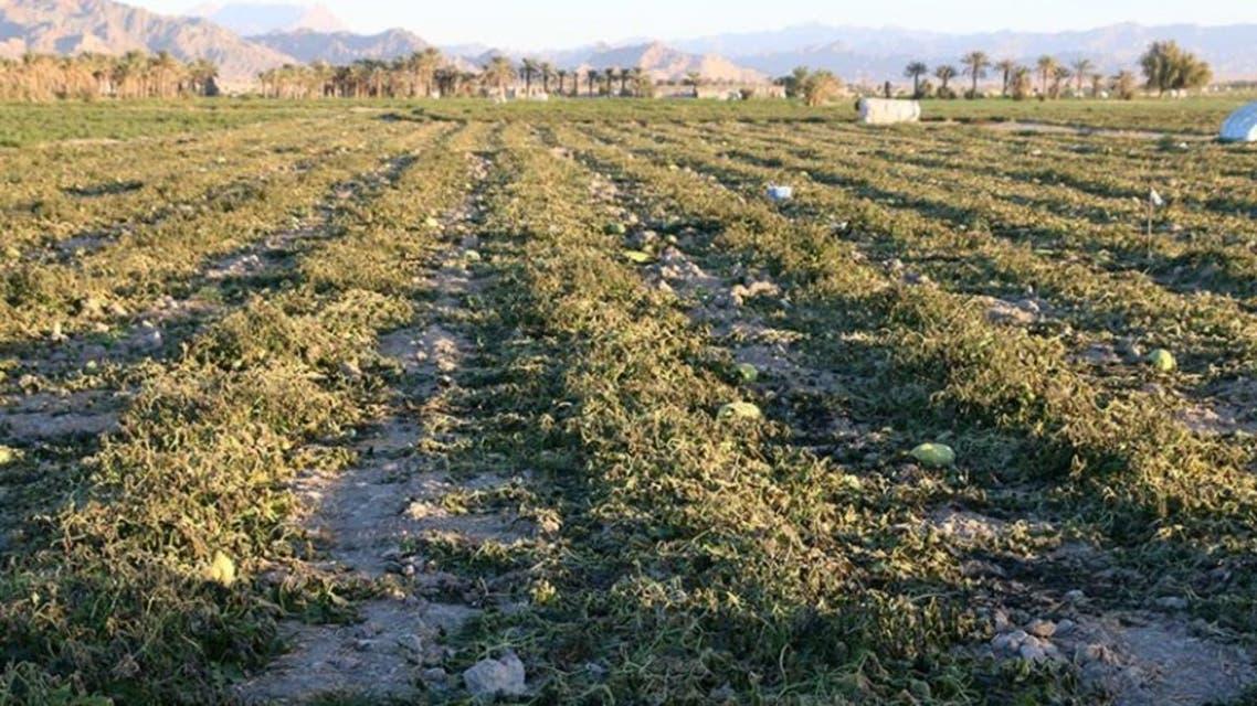 «خسارت 10هزار میلیارد تومانی سرمازدگی به زمینهای کشاورزی ایران»