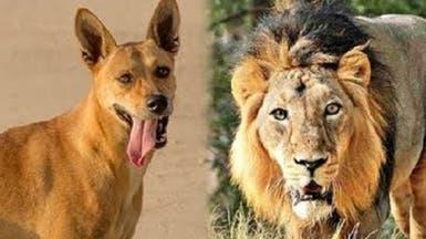 فيديو لنادرة في عالم الحيوان.. كلب يهاجم أسداً ويهزمه