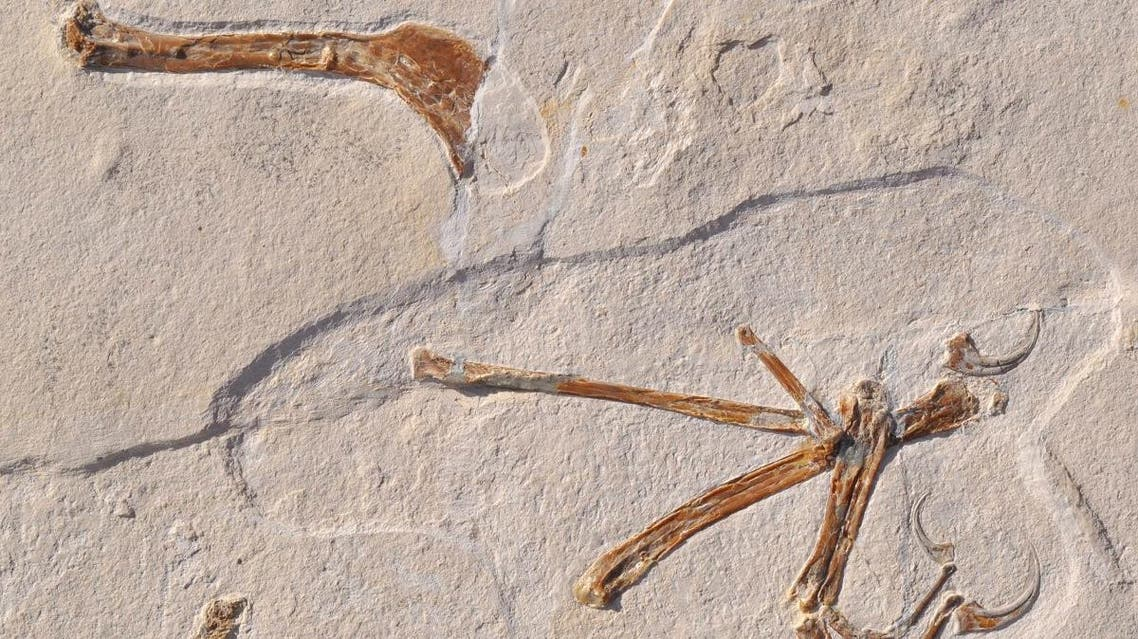 Researchers in Germany have unearthed a new species of flying dinosaur that flapped its wings like a raven and could hold vital clues as to how modern-day birds evolved from their reptilian ancestors. (AFP)
