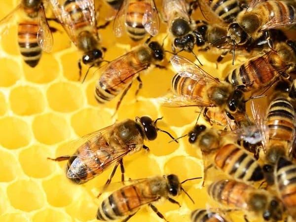 ماذا لو اختفى النحل؟.. تحذير أممي