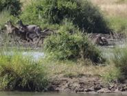 شاهد تمساحاً ينقض على غزال.. وهذه نهاية الصراع
