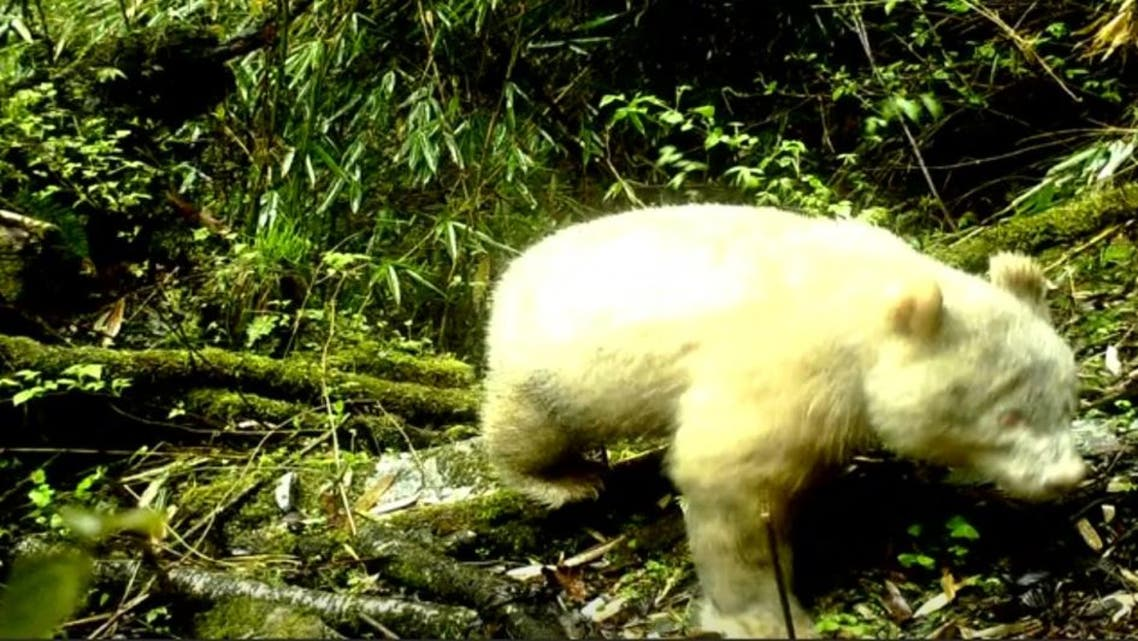 Picture of the white panda captured on infrared camera at the Wolong National Nature Reserve, Sichuan Province, southwest China. (Reuters/CCTV)