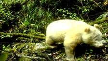 Rare albino panda caught on camera in China