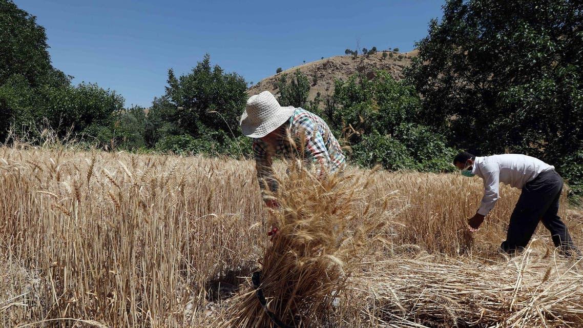 Iraq wheat AFP