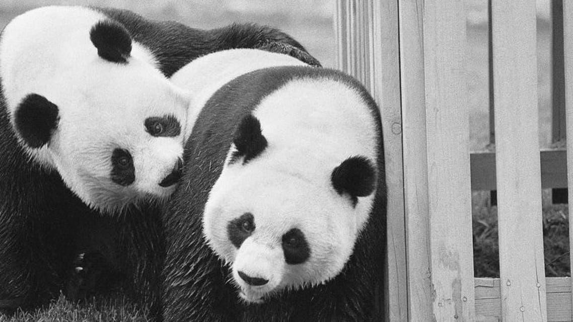 صورة لزوج الباندا الدبلوماسي شينغ شينغ ولينغ لينغ