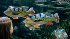 Study says lovelorn fish turn gloomy when separated