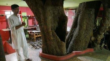 شجرة معمرة تتوسط مبنى في الهند