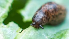 Slug held responsible for Japan railway chaos