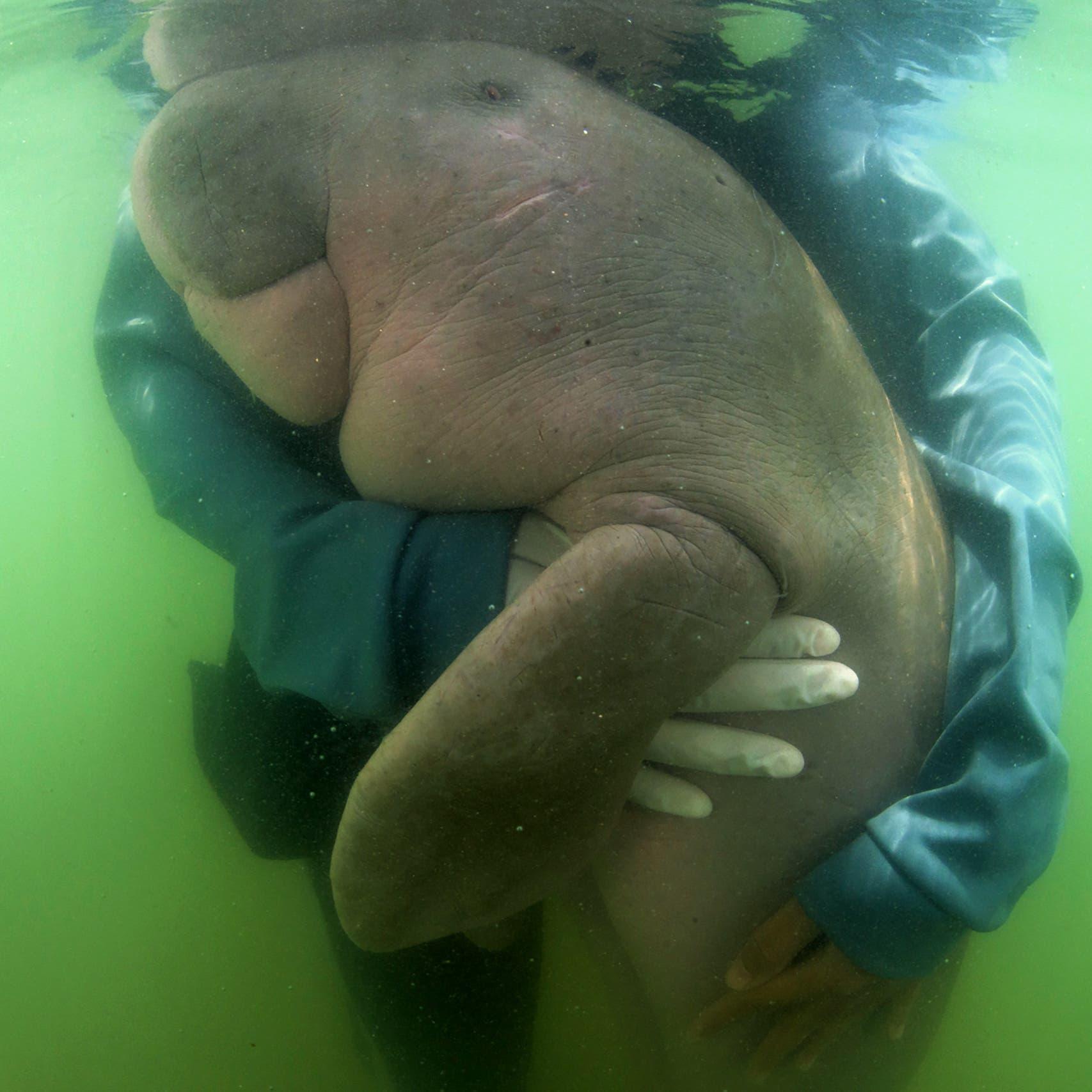 لأجل البيئة.. بقرتا البحر مريم وجميل في بث مباشر