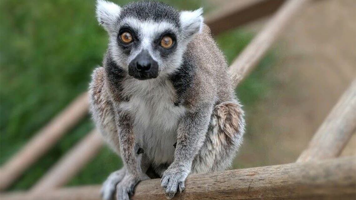 This undated and unlocated handout photo released by the US Department of Justice on July 8, 2019 shows Isaac, the oldest-living ring-tailed lemur in captivity in North America. A California man pleaded guilty on July 8, 2019 to sneaking into a zoo after hours and stealing the oldest-living ring-tailed lemur in captivity in North America in order to keep the endangered animal as a pet. Aquinas Kasbar, 19, admitted before US District Judge Andrew Guilford to using bolt cutters on July 27 of last year to cut a hole in the enclosures for lemurs and capuchin monkeys at the Santa Ana Zoo in order to steal 32-year-old Isaac.