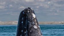 كندا تتخذ إجراءات جديدة لحماية الحيتان السود