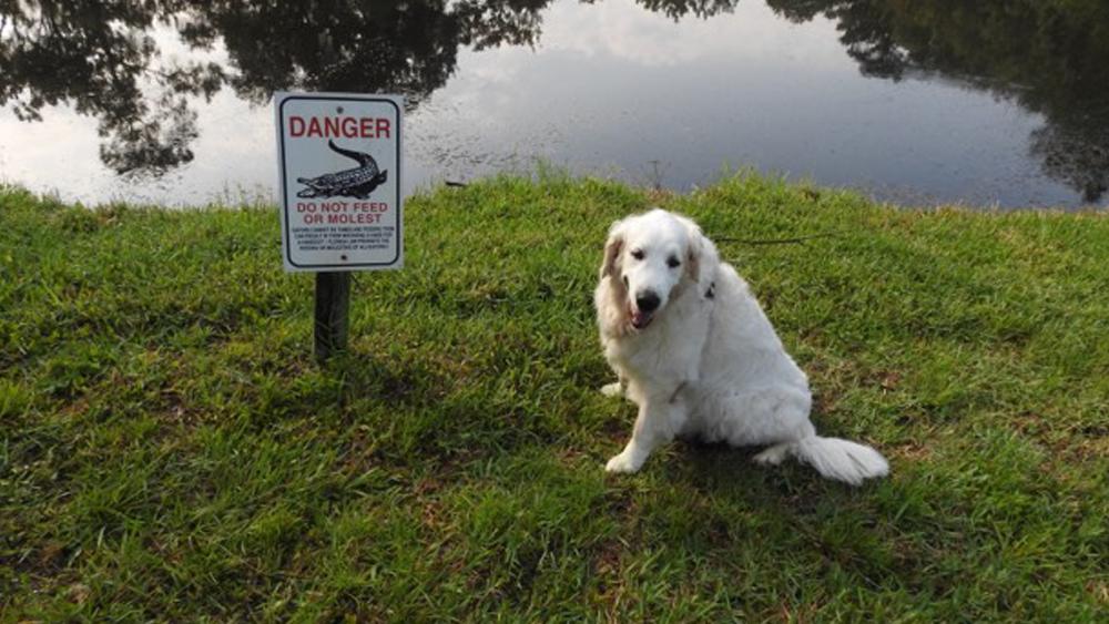 الكلب الذي تم إنقاذه من التمساح
