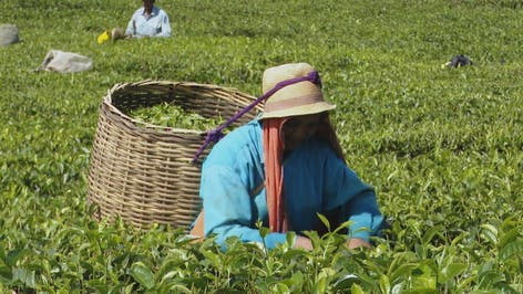 متحف الشاي في جزيرة موريشيوس يروي كيفية قطفه وتصنيعه