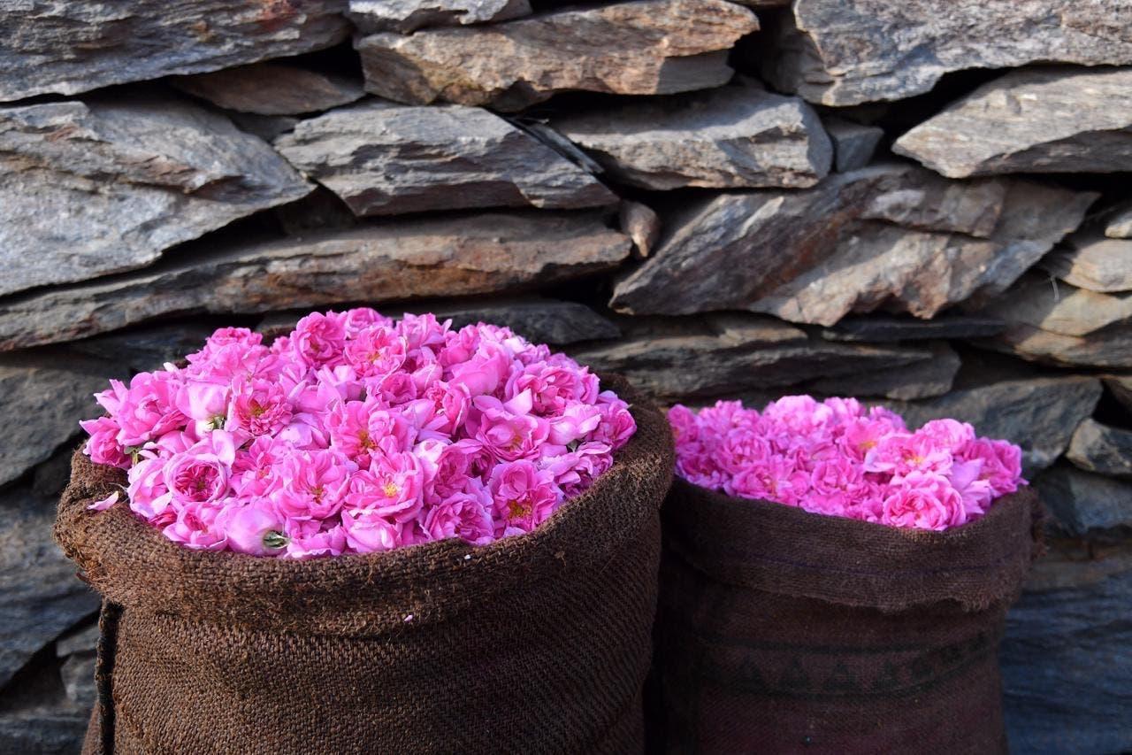 KSA: Rose of Taif